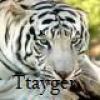 Ttayger