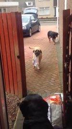 Pies kt�ry pomaga nosi� zakupy