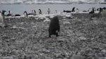 Z�y dzie� ma�ego pingwina