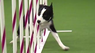 Pies Tex - zwyci�zca konkrusu zwinno�ci