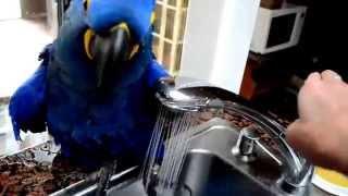 Papuga bierze k�piel w zlewozmywaku