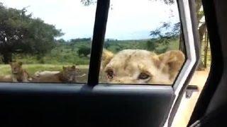 Lew otworzy� drzwi samochodu z�bami