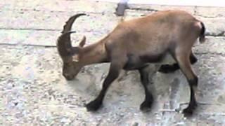 Koza pasie sie na betonowej scianie zapory
