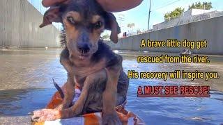 Dzielny pies uratowany przez dobrego cz�owieka