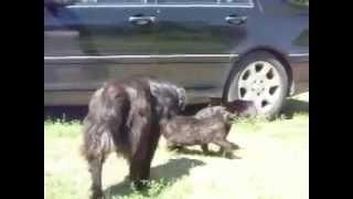 Odpowiedzialne psy przerywaj� walk�