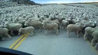 Tysi�ce owiec blo ...
