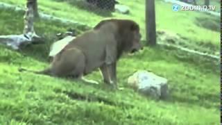 Cyrkowy lew po raz pierwszy na wolno�ci