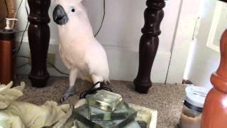 Reakcja papugi na wie�� o p�j�ciu do weterynarza