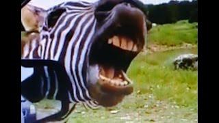 �piewaj�ca zebra