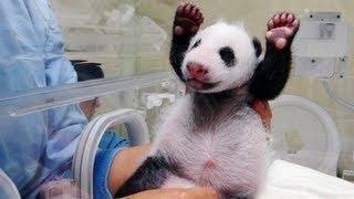 Ma�a panda po raz pierwszy spotyka matk�