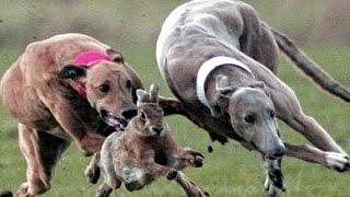 Psy goni�cy zaj�c ...