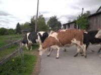Czyste szczęście młodych krów wypuszczonych na pastwisko