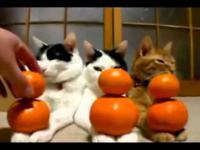 Koty i mandarynki