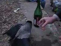 W Rosji nawet ptaki piją
