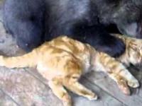 Czelabiński kot kontra mały niedźwiadek