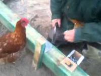 Ciekawska kura