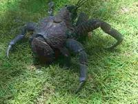 Krab kokosowy lub Krab palmowy (Birgus latro)