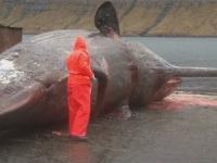 Rozcięcie wyrzuconego na brzeg wieloryba
