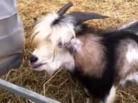 Koza udająca kurę