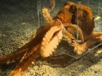 Ośmiornica ucieka z akwarium przez bardzo mały otwór
