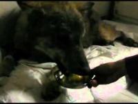 Reanimacja wilka