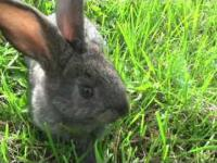 Pojedynek królików