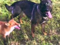 Jak pies z lisem