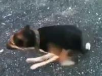 Pies biega na dwóch przednich łapach
