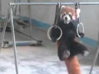 Trening pandy małej