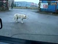 Pies który czuje rytm