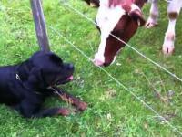 Rottweiler Miłość
