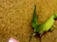 Papuga tanczy techno