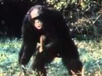 Trollowanie szympansów, czyli sztuczny lampart