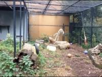 Efektowny skok Leoparda