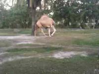 Wielbłąd bez głowy