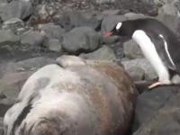 Zemsta Doskonała! Jak lew morski zrewanżował się pingwinowi