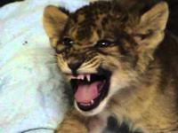 Mały lew uczy się ryczeć