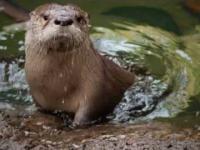 Wydra uczy swoje dziecko pływać i nurkować