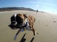 Psiak z dwoma nogami idzie pierwszy raz na plażę
