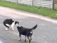 Odważny kot vs pies