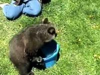 Mały niedźwiadek grizzly i wiadro