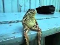 Żaba siedzi na ławce jak człowiek