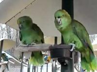 Dwie papugi rozmawiają