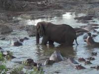 Hipopotam, który miał apetyt na ogon pewnego słonia. Tanzania.
