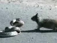 Wiewiórka kontra wąż