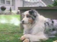 Palący pies .
