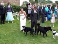 Nie dobry piesek na ślubie