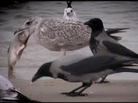 Wielka mewa zjada rybę.Big Seagull eating a Fish.Große MĂśwe frisst Fisch.