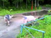 Świnie uciekły do lasu, od właściciela