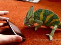 Ohh! Chameleon & iPhone!